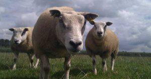 schaap-schapen