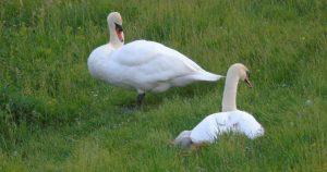 Er-waren-eens-vier-mooie-witte-zwanen