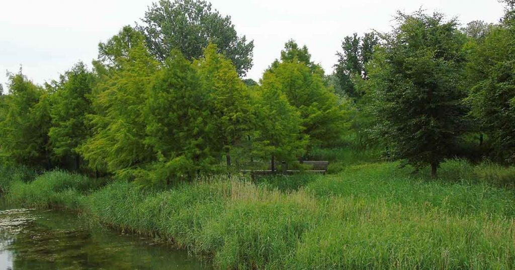 Taxodiums_bomen_maximapark_foto_hp_van_rietschoten