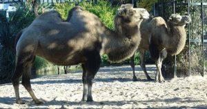 kameel_foto_hp_van_rietschoten