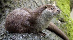 Natuurcollege – Otters in de Oudegracht: de ultieme wilde stad? @ Steede Hoge Woerd