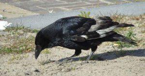kraai-achtige_vogel3_foto_hp_van_rietschoten
