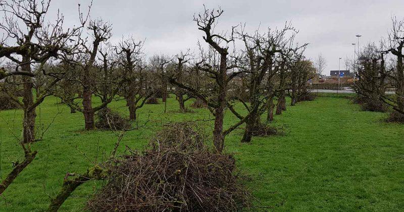 Zestig-jaar-oude-perenbomen-bij-Castellum-Hoge-Woerd-gesnoeid2